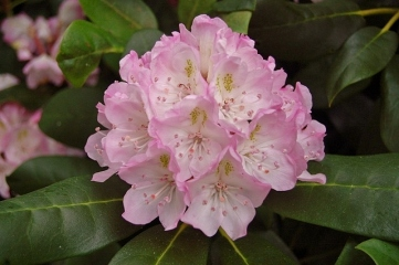 RHODODENDRON  OH MY GOSH
