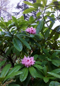 RHODODENDRON JURASSIC JUNGLE