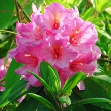 RHODODENDRON CYNOSHURE