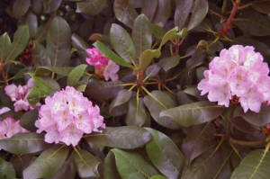 RHODODENDRON  OH MY GOSH SHOWING LUSH FOLIAGE