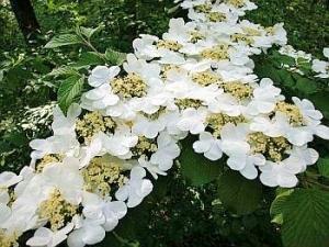 viburnum lan hobblebush smith del
