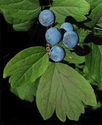 bluecohosh