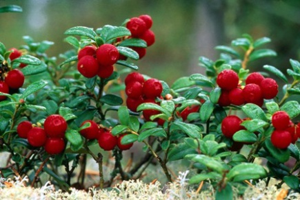 The lingonberry (Vaccinium vitis-idaea), above, is one of two plants that play a large role in the subsistence economy of boreal Alaska. The other is bog blueberry (Vaccinium uliginosum). Institute of Arctic Biology ecologist Christa Mulder and her research team are investigating whether the presence of the invasive legume sweetclover (Melilotus officinalis) can alter the production of fruits of lingonberry and blueberry.