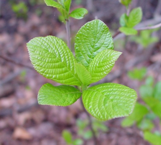 clethra-alnifolia-le-ahaines.jpg